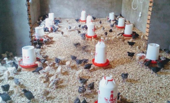 Rise Africa UK Chicken project
